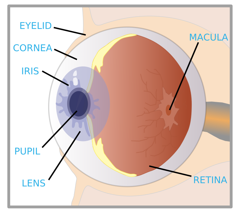 "eye with labels by ryanlerch - an image originally sourced from the US government EPA ""Sunwise"" program. It came in PDF format, i converted it into a raster image, then hand traced it section by section. the source image is in the pdf file found here: http://www.epa.gov/sunwise/doc/eyedamage.pdf"