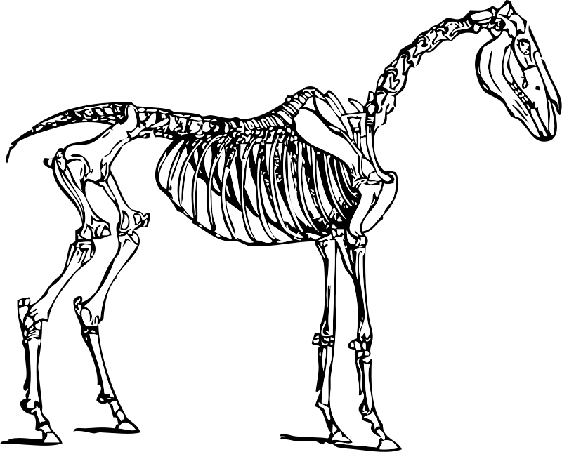 horse skeleton by johnny_automatic - drawing of a horse skeleton from Domestic animals; history and description of the horse, mule, cattle... Allen, R. L. O. Judd Company, New York :