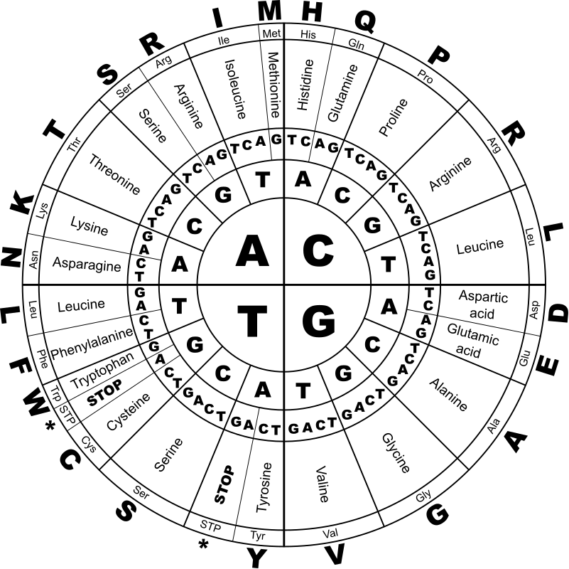 Genetic Code BW by J_Alves - <p>The genetic code, in DNA letters (T instead of U), and containing amino acids in three representations: full name, 3-letter abbreviation, and 1-letter. Black and white version. Drawn in Inkscape.</p>  <p>How to read the genetic code: start from the center circle and go outwards. So, if the gene has an AGC, that means amino acid serine. A CGA means arginine. And three of the combinations are stop codons, which don't give any