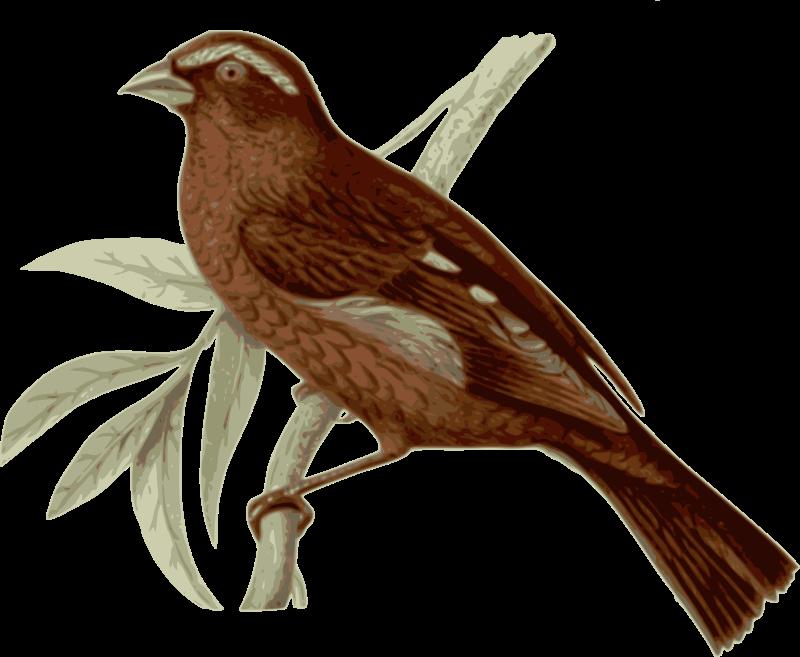 Clipart - Carpodacus-vinaceus-male