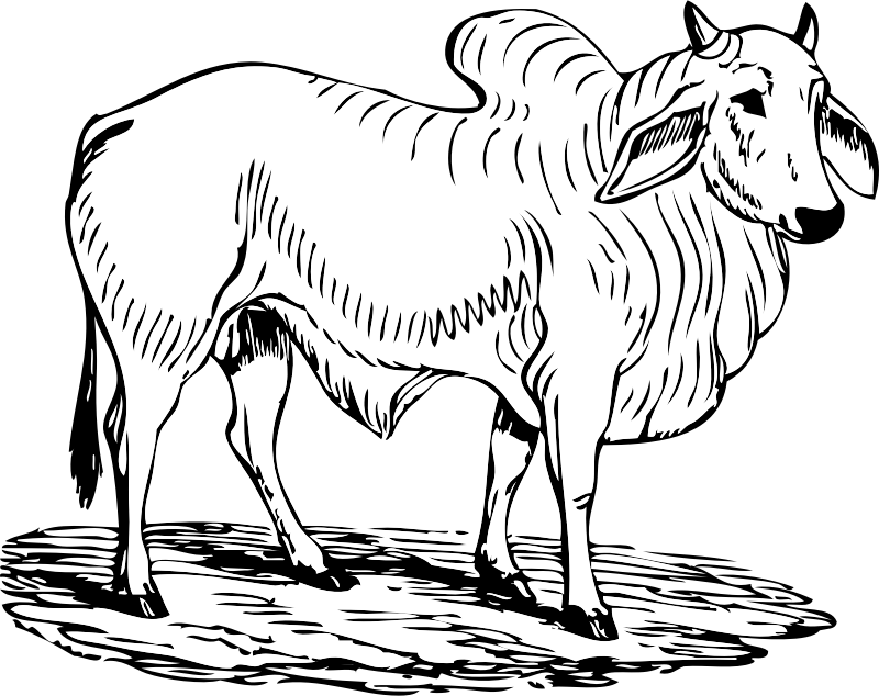 brahma bull by johnny_automatic - a black and white drawing of a brahma bull