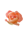 Rose with Drops />