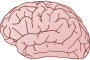 Brain exterior side view