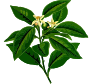 Lemon tree (low resolution)
