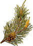 Scots pine (detailed)