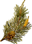 Scots pine (low resolution)