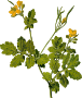 Greater celandine (detailed)