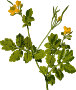 Greater celandine (low resolution)