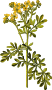 Common rue (detailed)