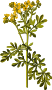 Common rue (low resolution)