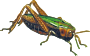 Common green grasshopper (isolated)