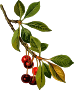 Sour cherry tree 2 (low resolution)