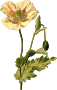 Opium poppy (detailed)
