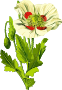 Opium poppy 3 (low resoloution)