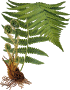 Male fern 2 (detailed)
