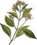 Cinchona officinalis (detailed)