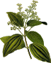 Ceylon cinnamon (detailed)