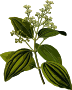 Ceylon cinnamon (smaller file)