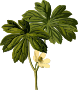 Mayapple (smaller file)