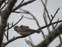 meadow bunting 02