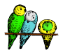 Lutz - parakeets colored