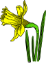 colored daffodil