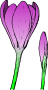colored crocus 1